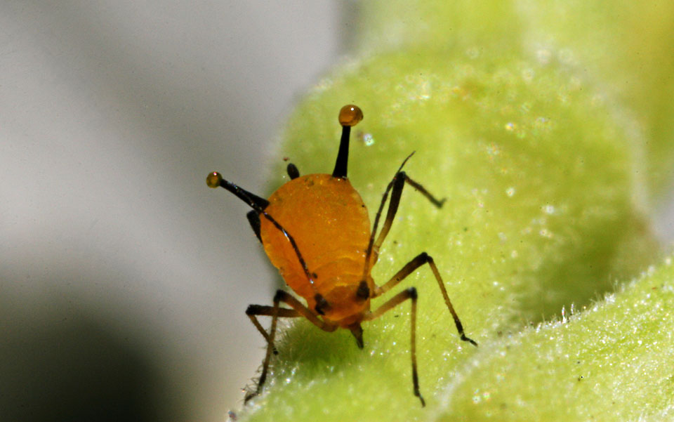 'More than 270 million years ago, a lone aphid likely attained a carotenoid gene from a fungus'. Photo courtesy Wikipedia